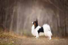 Portrait of Papillon dog standing in the forest. Beautiful and happy Continental toy spaniel