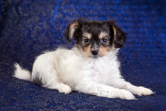 Portrait of a Papillon puppy Royalty Free Stock Image