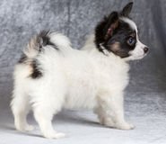 Portrait of a Papillon puppy Royalty Free Stock Photos