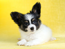 Portrait of a Papillon puppy Stock Image