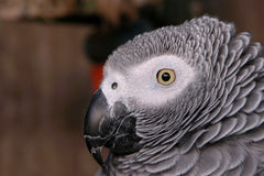 Portrait of a Parrot. Portrait of a grey parrot in a cage Stock Photo