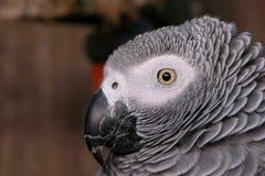 Portrait of a Parrot Stock Photo