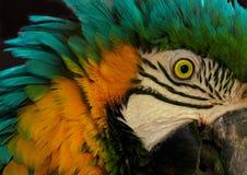 Portrait of Parrot. Closeup portrait of colorful parrot Stock Photo