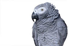 Portrait of a parrot. Grey parrot isolated on a white background Stock Photos