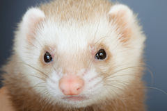 Portrait of pastel ferret Royalty Free Stock Photography