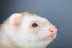 Portrait of pastel ferret Stock Images