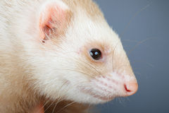 Portrait of pastel ferret Stock Photography