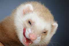 Portrait of pastel ferret Stock Photo