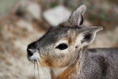 Portrait of Patagonian Cavy Mara dolichotis mammal. Portrait close-up of Patagonian Cavy Mara dolichotis mammal Royalty Free Stock Photos