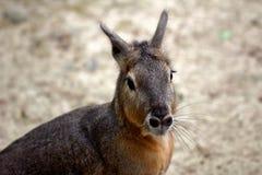 Patagonian Cavy Mara dolichotis mammal. Portrait of Patagonian Cavy Mara dolichotis mammal. Photography of wildlife Stock Image