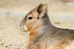 Portrait of patagonian cavy Royalty Free Stock Photos