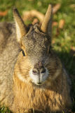 Portrait of a patagonian mara Royalty Free Stock Photo