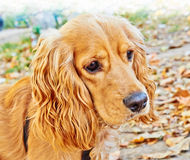 Portrait of a peach-colored cocker spaniel dog Royalty Free Stock Images