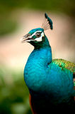Portrait of peacock . Stock Photos
