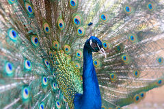 Portrait of a peacock Royalty Free Stock Image