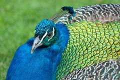 Portrait of a peacock Stock Image