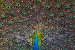 Portrait of a peacock on the background of his tail. Close-up. Sri Lanka. Royalty Free Stock Photography