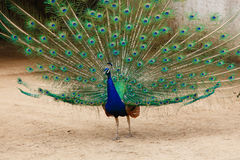 Portrait of a peacock. Royalty Free Stock Photography