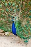 Portrait of a peacock. Stock Photos