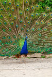 Portrait of a peacock. Royalty Free Stock Images