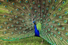 Portrait of a Peacock bird. In a zoo Royalty Free Stock Image
