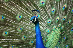 Portrait of a Peacock bird. In a zoo Royalty Free Stock Images