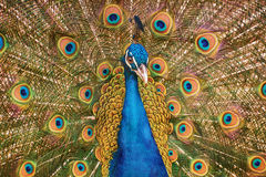 Portrait Of Peacock Royalty Free Stock Photography