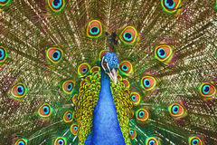 Portrait Of Peacock Royalty Free Stock Photo