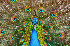 Portrait Of The Peacock Stock Images