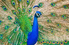 Portrait of a peacock with extended feathers. stock image
