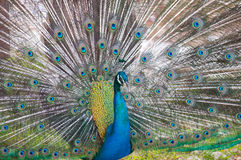 Portrait of Peacock with Feathers Royalty Free Stock Images