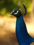 Portrait of peacock. With feathers out Stock Images