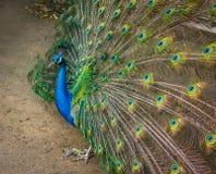 Portrait of Peacock Stock Photo