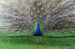 Portrait of peacock with feathers out Royalty Free Stock Image