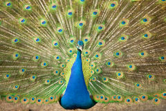 Portrait of Peacock with Feathers Out Royalty Free Stock Images