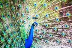 Portrait of Peacock with Feathers Out Stock Images
