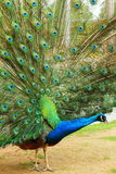 Portrait of peacock with feathers out. Stock Photo