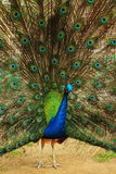 Portrait of peacock with feathers out. Royalty Free Stock Images