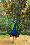 Portrait of peacock with feathers out. Stock Photos