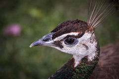Portrait of a peacock. Royalty Free Stock Photos