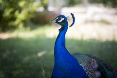 Portrait of a peacock. Royalty Free Stock Image