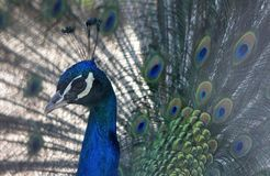 Portrait of a peacock pavo cristatus with expanded feathers. The bird is celebrated in Hindu and Greek mythology and is the national bird of India stock images