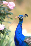 Portrait of peacock or peafowl Royalty Free Stock Photos