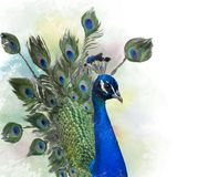 Portrait of Peacock watercolor Royalty Free Stock Image