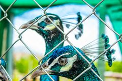 Portrait Peafowl in cages. Portrait Peafowl in cages ,Thailand Stock Images