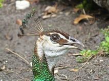 Peahen or Pavo cristatus. Portrait of a Peahen in a park stock image