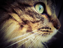 Portrait pedigree cat maine coon side view close-up greeneyes. Stunning maine coon lynx cat Royalty Free Stock Photography