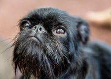 Portrait of pedigree dog Belgian Griffon Royalty Free Stock Photos