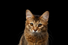 Portrait of pedigree orange Somali kitty on isolated black background. Close-up Portrait of pityful orange Somali kitty looking in camera on isolated black Royalty Free Stock Photography