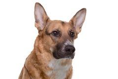 Portrait of pedigreed brown shepherd Royalty Free Stock Photos